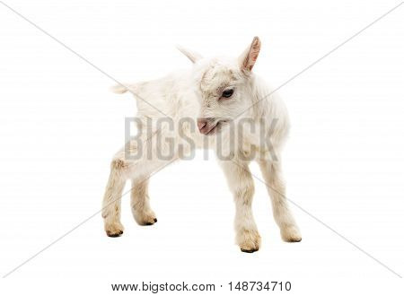 small white goat on a white background isolated