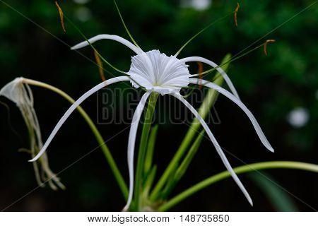 Hymenocallis Littoralis Herb