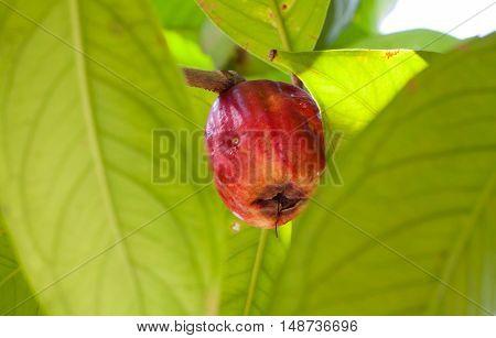 Syzygium malaccense or Pomerac Malay Apple on tree