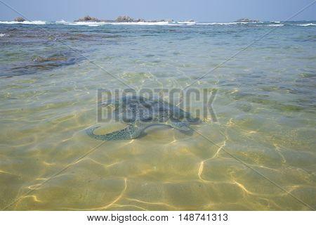 A large sea turtle swam to a sandbar on a coral reef. Sri Lanka