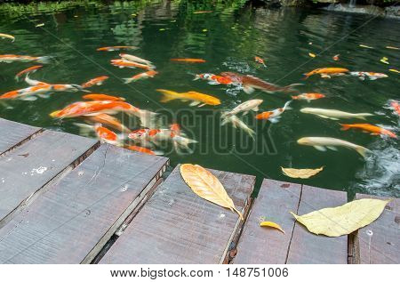 Leaves on the bridge and Koi fish are waiting for food selective focused