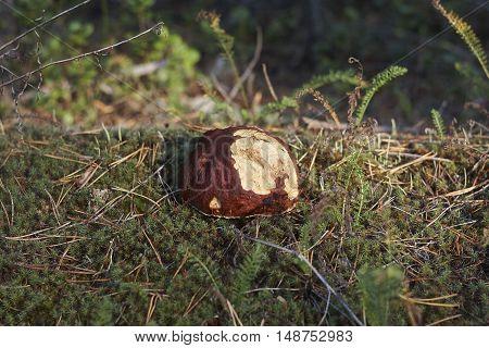 cep Boletus edulis with damaged top close up