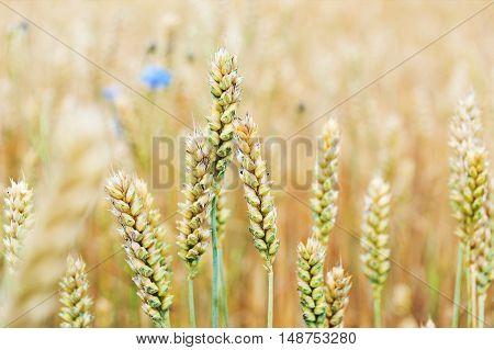 cornflowers in wheat field in summer day
