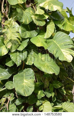 fresh green Epipremnum aureum plants in nature garden
