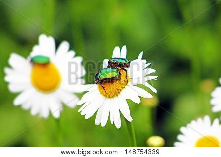 Two bugs (Cetonia aurata) on chamomiles in the garden