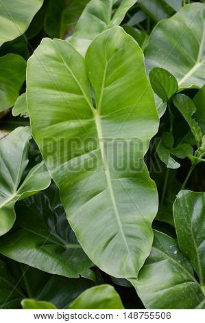 fresh green Philodendron leaves in nature garden