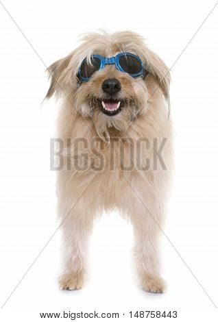 pyrenean shepherd in front of white background