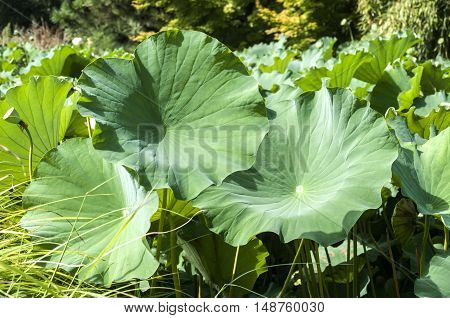 Lotus flower giant leaves closeup as natural background