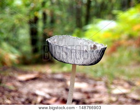 Pleated Inkcap (Parasola plicatilis) sometimes known as the Little Japanese Umbrella, growing on a woodland path