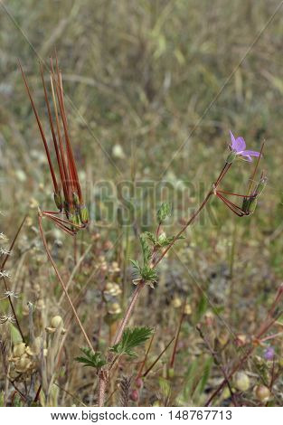 A Storksbill flower and seeds pods - Erodium ciconium From Cyprus