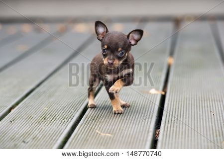 tiny brown  puppy posing outdoors in autumn
