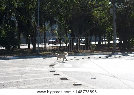 Crossbreed abandoned dog crosses road on crosswalk