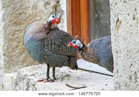 Guinea fowls near the window of orthodox monastery Gelati, near Kutaisi, Georgia