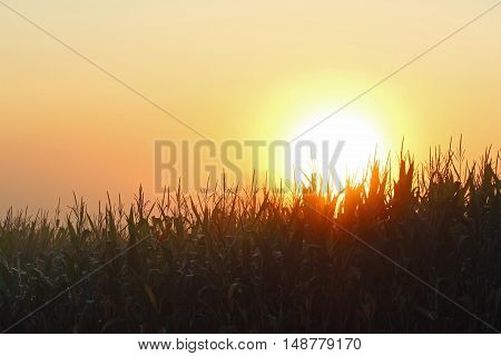 The sun rises over a cornfield through the thick fog.