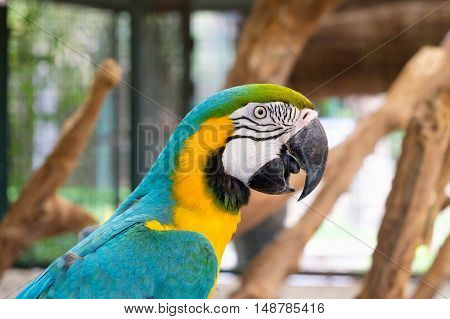 Close up of Blue-and-yellow macaw (Ara ararauna) also known as the Blue-and-gold macaw.