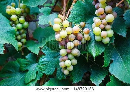 Bunches of wine grapes. Close up view of fresh sweet wine grape. Ripe grape growing at wine fields. Bunches of wine grapes hang from a vine.