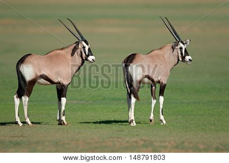 Two young gemsbok antelopes (Oryx gazella), Kalahari, South Africa