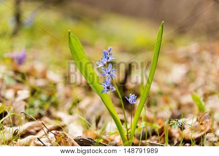 unblown wild growing squill (Scilla bifolia) blue early spring flower