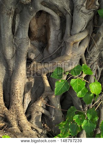 closeup shot of a sacred fig bodhi tree pippala tree peepal tree or ashwattha tree or Ficus religiosa