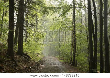 Trail through early autumn forest after rainfall.