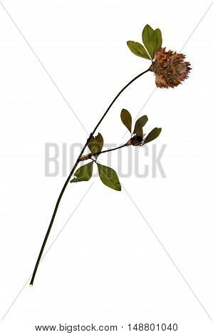 Pressed and dried flower of Red Clover (Trifolium Pratense) on stem with leaves isolated on white background for use in scrapbooking floristry (oshibana) or herbarium.