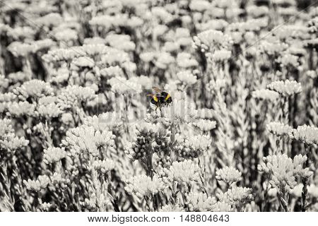 Yellow bumble-bee and colorless sedum flowers. Detailed natural scene. Fauna and flora. Beauty in nature.