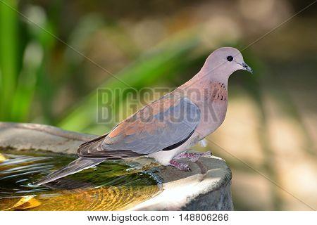 small beautiful dove at feeding station in Botswana