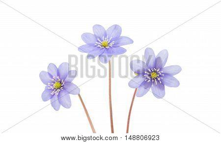 blue Hepatica nobilis isolated on white background