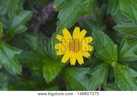 Beautiful yellow Compositae Singapore daisy Climbing wedelia Creeping daisy flower with green nature background. wildflower in summer tropical seasons.