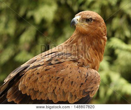 Close up portrait of a Tawny Eagle