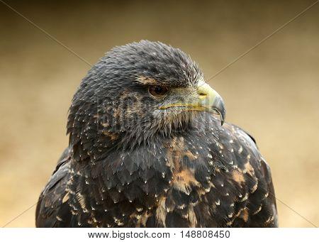 Portrait of a Chilean Blue Buzzard Eagle