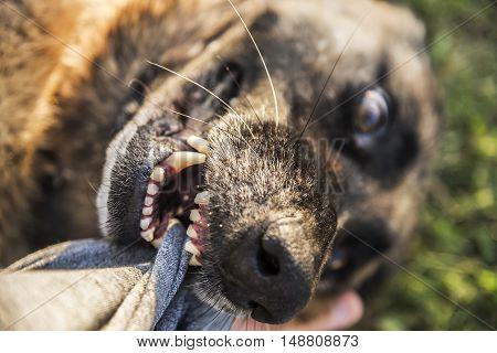 Dog breed German shepherd biting man's hand.