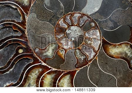 Ammonites belong to their coiled shell fossils. An ammonite is also of course a fossil of a mollusk from ancient times