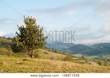 Tree (Spruce) on a background of mountains. Tree on a background of mountain village. Lonely tree. poster