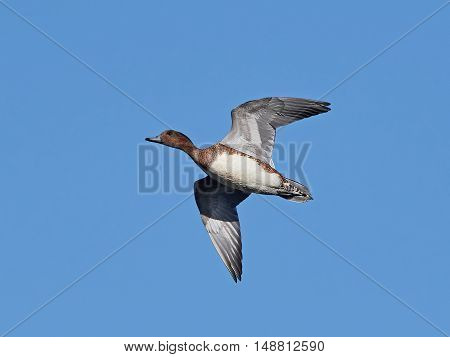 Eurasian wigeon (Anas penelope) in flight with blue skies in the background