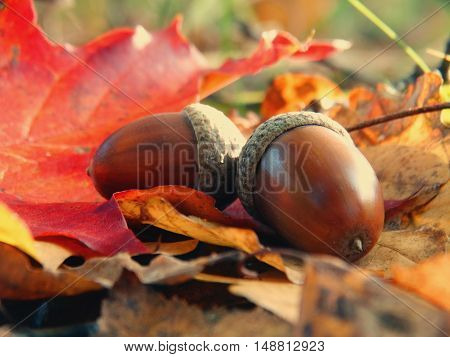 Acorns in the forest nature leaves maple oak background outdoor autumn