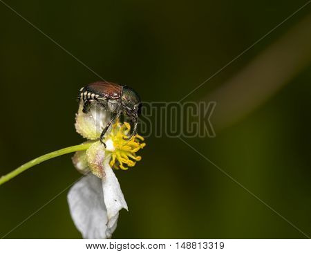 A japanese beetle perching on a flower