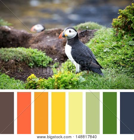A puffin on the cliffs of Treshnish Isle, Inner Hebrides, Scotland. In a colour palette with complimentary colour swatches.