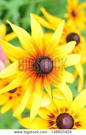 Flower Rudbeckia Hirta