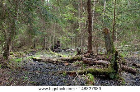 Springtime wetland stand of Bialowieza Forest with broken alder tree in foreground, Bialowieza Forest,Poland,Europe