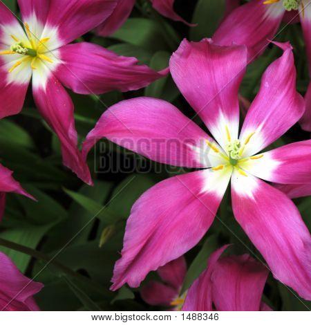 Tulipstars