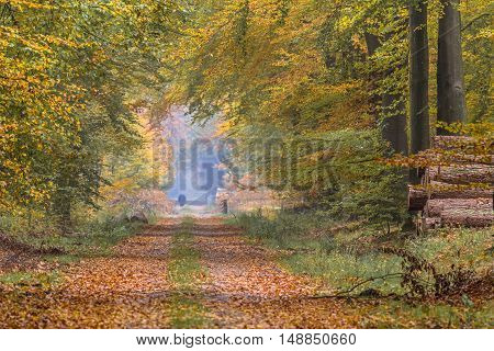 Autumn Lane With Large Beech Trees