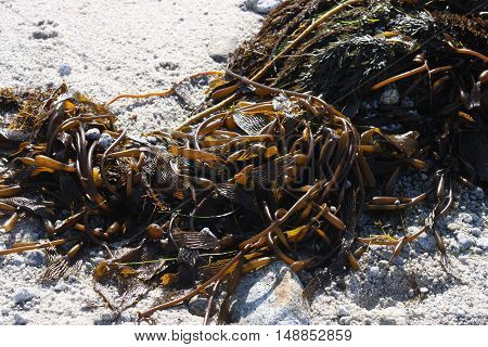 This is an image of seaweed and white sand at Asilomar Beach in Pacific Grove, California.