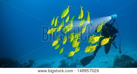 Flock of yellow fish with scuba diver photographer, exploring sea bottom.