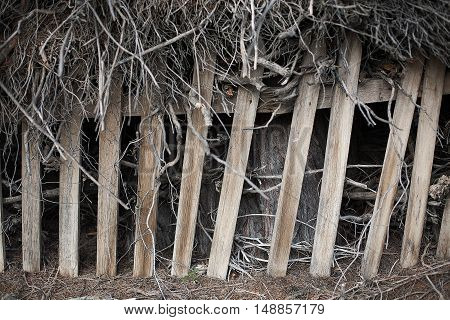 Old falling down timber picket fence and huge hedge