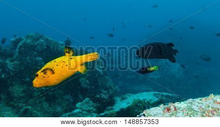 Beautiful colored boxfish flowing in Indian ocean