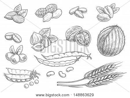 Nuts, grain, berries black pencil sketch on white background. Isolated vector icons of coconut, almond, pistachio, sunflower seeds, peanut, hazelnut, walnut, coffee beans, wheat ears, coffee beans pea pod berries