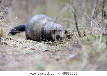 Close up young wild polecat in forest