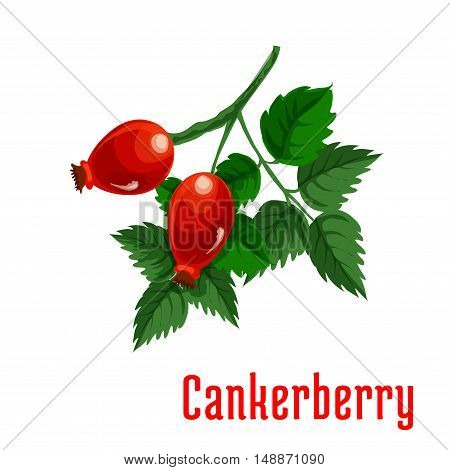Cankerberry fruit. Isolated bunch of red fruits of dog-rose on stem with leaves. Botanical product emblem for juice or jam label, packaging sticker, grocery shop tag, farm store