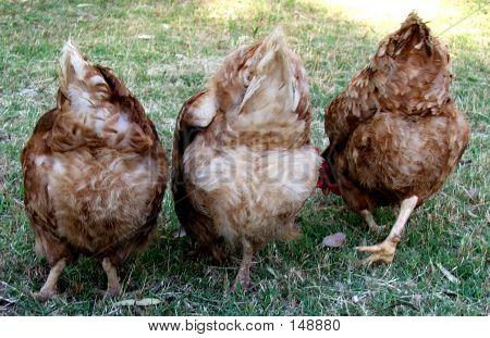 Animals - Chickens